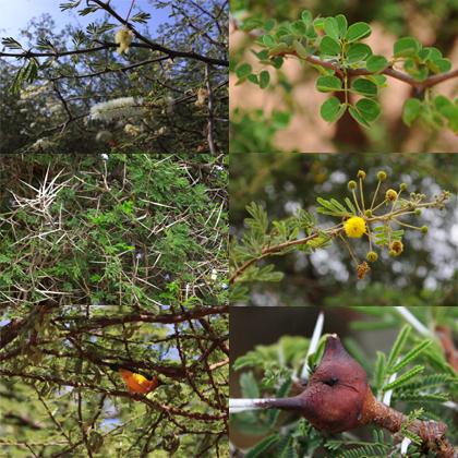 Acacias2.jpg